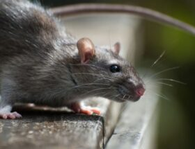 8 Signs that Roof Rats Are Infesting Your House